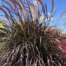 grass deer resistant ornamental grasses garden
