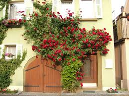 when to plant climbing roses for a stronger growing rose
