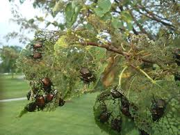 native japanese plants a japanese beetle infestation on a linden tree in north carolina