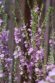 arizona native plants plant of the month leucophyllum or texas sage water use it wisely