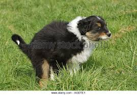 australian shepherd dog puppies australian shepherd dog puppy doing stock photos u0026 australian