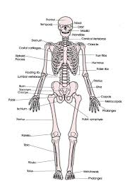 Picture Of Human Anatomy Body Where In The Body Is The Skeletal System Located Socratic