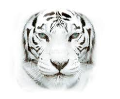 white siberian tiger closeup stock image image of beautiful