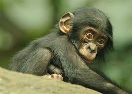 siege social bonobo bonobo baby primate and kingdom