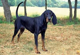 bluetick coonhound temperament black and tan coonhound dog breed information