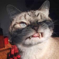 cat dracula gets a twitter fang club u2013 the sun