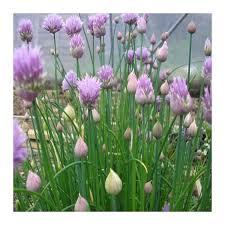 erba cipollina in vaso pianta erba cipollina vaso 7cm