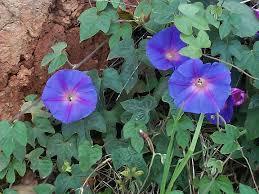 Purple Flower On A Vine - native vines eurobodalla shire council