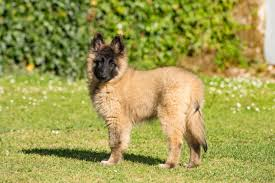 belgian sheepdog pedigrees 6 fun facts about the belgian tervuren dog breed american kennel