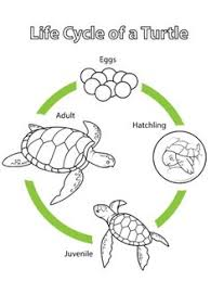 turtle turtle coloring free printable turtle