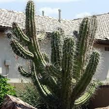 argentine toothpick cactus seeds stetsonia coryne