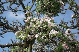 apple tree bloom wallpapers green leaf tree with flowers under blue sky free image peakpx