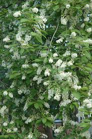 schubert chokecherry bailey prunus virginiana schubert in