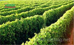 Low Trellis Hops Low Trellis Hops Systems The World Of Beer Craft Breaking Down The