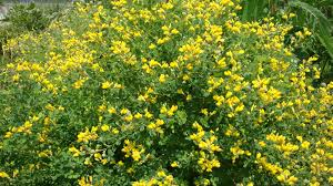 native plant nursery ontario small yellow wild indigo tennessee smart yards native plants