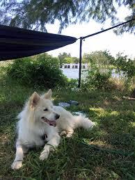 american eskimo dog dallas dallas hammock club home facebook