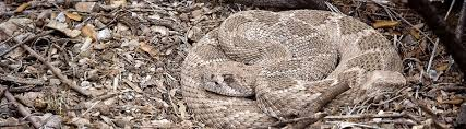 How To Avoid Snakes In Backyard Keep Rattlesnakes Away Learn How To Avoid Rattlesnakes In The