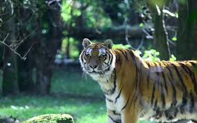home interior tiger picture wake up in the middle of a tiger enclosure at this luxury lodge