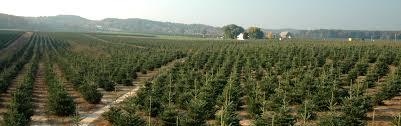 natural cut christmas trees