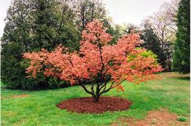 ornamental trees kondapur hyderabad green n greens landscaping