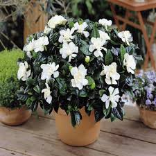 how to grow a gardenia indoors home outdoor decoration