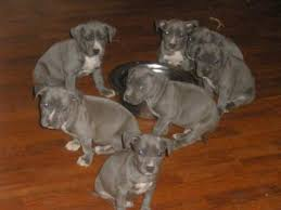 american pitbull terrier in uk fabulous american pitbull terrier puppies awaits a good home