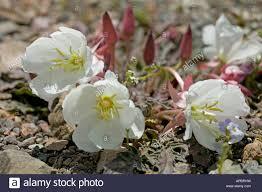 tufted evening primrose desert flower death valley california usa
