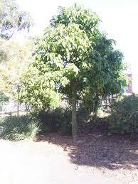 sydney native plants kurrajong aboriginal use of native plants