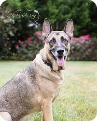belgian shepherd north carolina romeo adopted dog charlotte nc german shepherd dog belgian