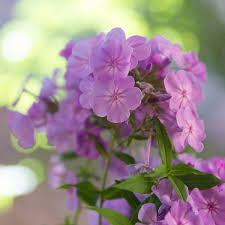 Very Fragrant Plants Use Fragrant Plants For A Breathtaking Garden My Chicago Botanic