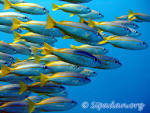 Wallpapers Backgrounds - Sipadan Fish group (fish group sipadan underwater org 1200x900)