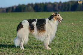 afghan hound dog images afghan hound or borzoi which is best for you pets4homes