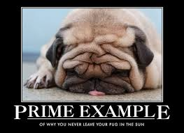 Tired Dog Meme - why you never leave your pug in the sun humordog funny dog