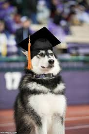 dog graduation cap we all wear a lot of hats but not like this