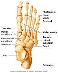 Calcaneus Anatomy Human Anatomy Human Anatomy Bones Foot Tarsals Talus Calcaneus