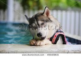 siberian husky dog wear life jacket stock photo 459866683