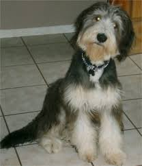 bearded collie adoption bearded collie puppies breeders collies
