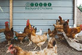 can i have backyard chickens in denver