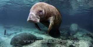 Florida snorkeling images Snorkeling with manatees in crystal river florida jpg