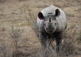 North Bay Fire Control District by North Bay Man Guilty In Vegas In Black Rhino Horn Sale Case