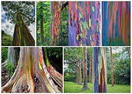 even trees are more in the philippines this is the bagras gum