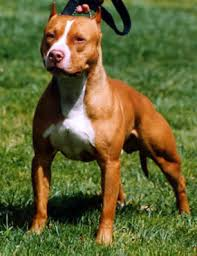 american pitbull terrier 1 a such good dogs breed of the month american pit bull terrier
