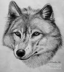 wolf sketch drawing by nick gustafson