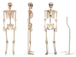 poseable skeleton poseable skeleton stand rental 1 week dapper cadaver props