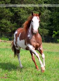white mustang horse red roan tobiano paint horse 1 by venomxbaby deviantart com on