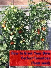 to grow gorgeous tomatoes from seed