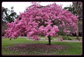 trees with pink flowers 20 most beautiful flowering trees around the world
