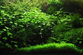 Aquascaping Plants Complete Guide To Aquascaping Allpondsolutions