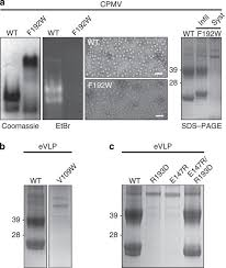 mechanisms of assembly and genome packaging in an rna virus