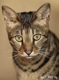savannah cat owners 1 guide kitten cost breeders advice